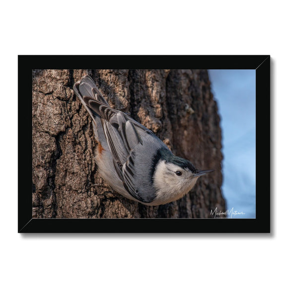 White-breasted Nuthatch Headed Down Framed Print