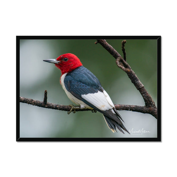 Red-headed Woodpecker on a Stick Framed Print