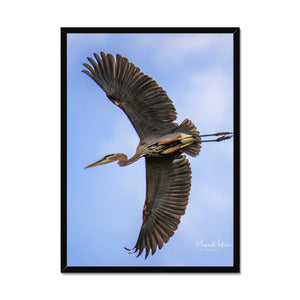 Great Blue Heron Flyby Framed Print