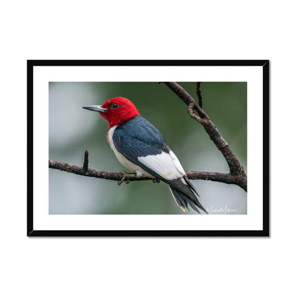 Red-headed Woodpecker on a Stick Framed & Mounted Print