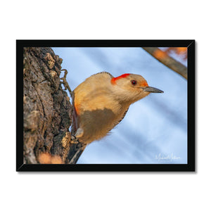 Peeking Red-bellied Woodpecker Framed Print