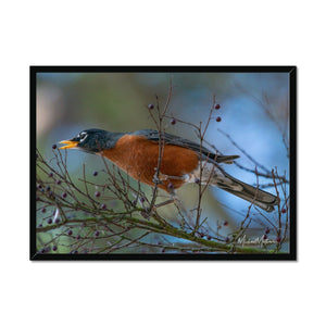 Late Robin Gets the Berry Framed Print