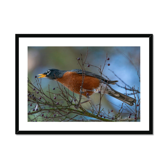 Late Robin Gets the Berry Framed & Mounted Print