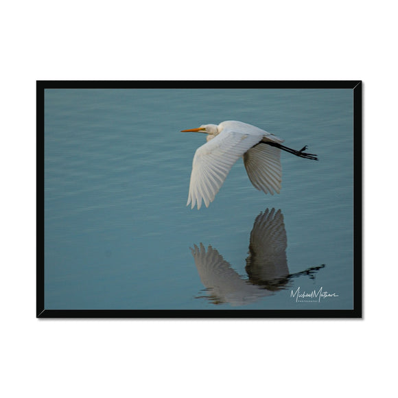 Great Egret Skimming Framed Print