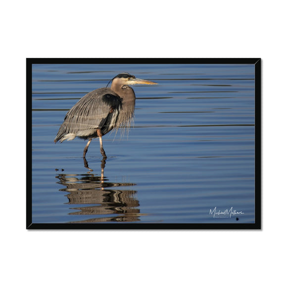 Great Blue Heron on Watery Stroll Framed Print