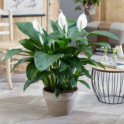 Peace Lily House Plant