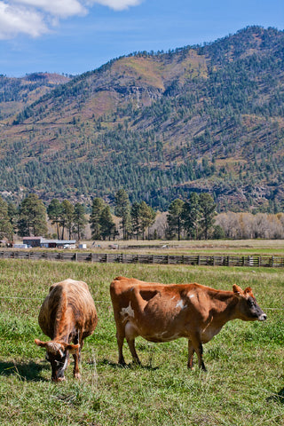 grass fed beyond organic dairy cows at James Ranch