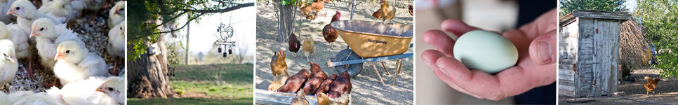 Jodar Farms happy chickens and eggs