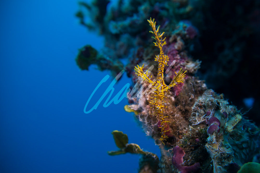 Yellow Ghostepipefish