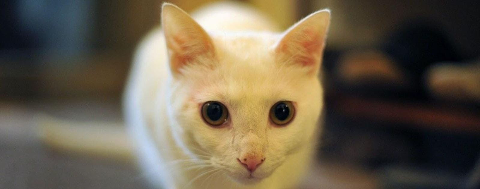chat blanc chaton japon neko