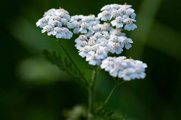 Achillea Millefolium Extract (Yarrow Extract) in skin care by bl lashes blink makeup remover
