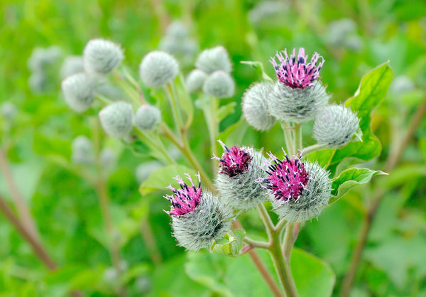 Arctium lappa, also known as greater burdock,gobō (牛蒡ゴボウ), edible burdock, lappa, beggar's buttons, thorny burr in korean skin care by bl blink lashes