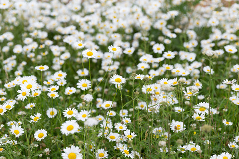 Bellis Perennis (Daisy) Flower Extract in skin care and bl lashes blink oil-free makeup remover