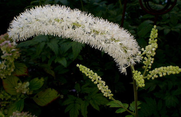 Black Cohosh (Actaea racemosa, also Cimicifuga racemosa) in korean skin care by blink bl lashes
