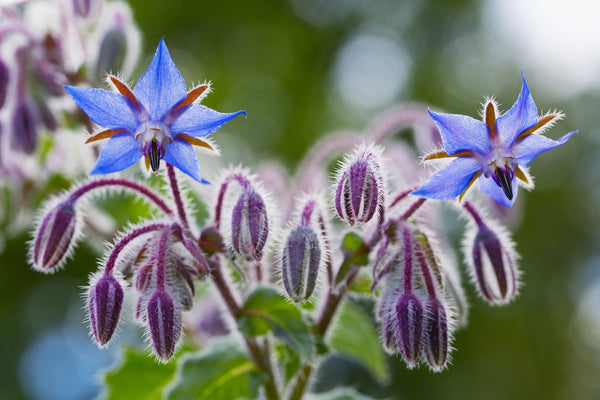 Borago Officinalis Extract - Starflower Extract in blink BL Lash Essence Serum