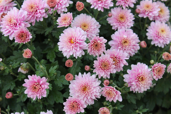 Chrysanthemum Morifolium Flower Extract used in skin care by bl lashes blink makeup remover