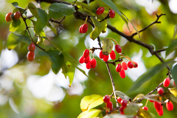 Cornus Officinalis Fruit extract -Japanese cornelian cherry