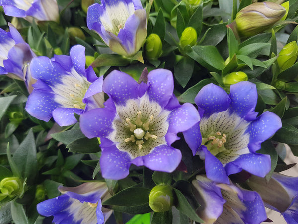 Gentiana scabra, the Korean gentian, or Japanese gentian in skin hair care by bl blink lashes
