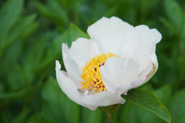 Paeonia lactiflora was known as the white peony (P. albiflora in korean skin hair care by bl blink lashes
