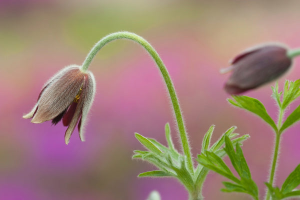 Pulsatilla koreana - Korean Pasque Flower_How to Clean Eyelash Extension Lash