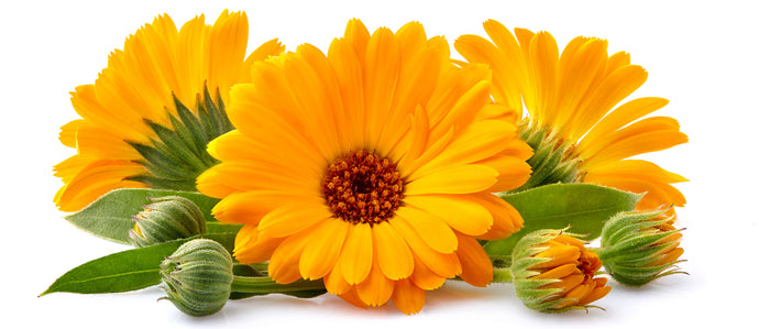 Calendula Officinalis Flower Oil Benefits