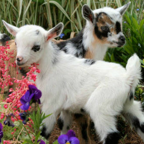 Baby Goats in the Garden