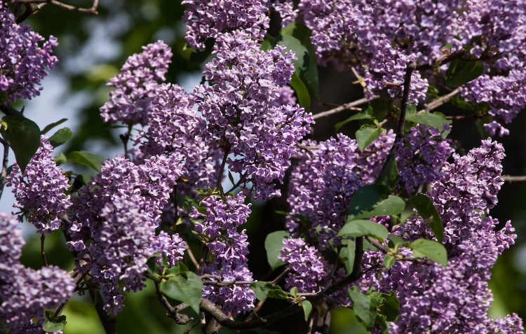 french-lilac-in-hedge