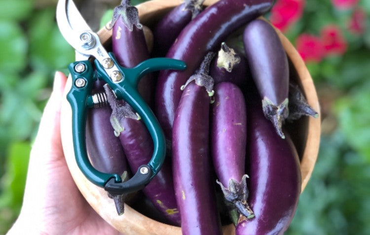 eggplants-with-handy-snippers