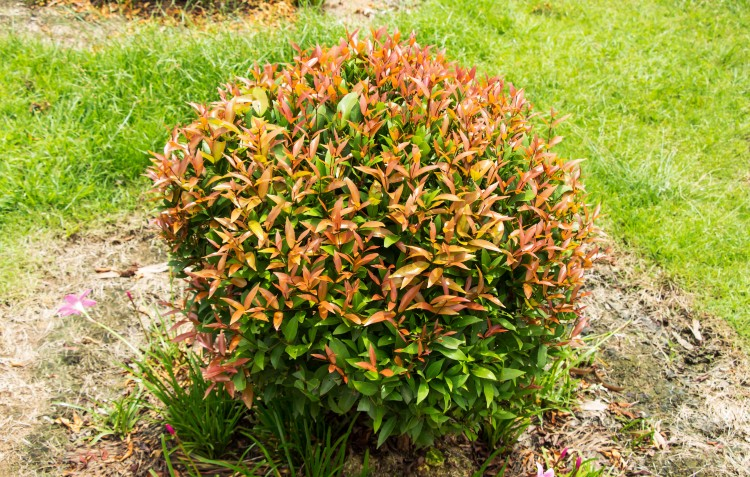 lily-pilly-hedging-plant