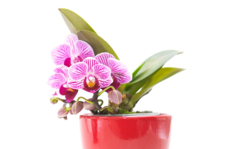 moth-orchid-in-pot
