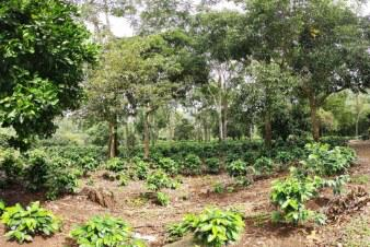 photo d'une plantation de café au Costa Rica dans le terroir du Tarrazu