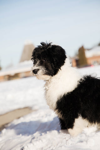 Jenny the Sheepadoodle at 3 months