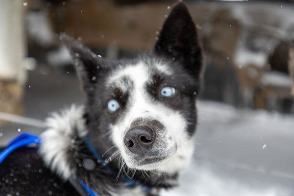 Blue Eyed Husky - Dogsledding in Big Sky Montana