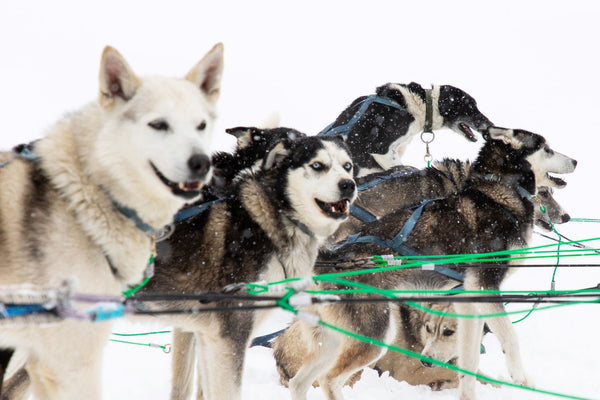 Sled Dogs Getting Super Pumped To Go Out Running in Big Sky Montana