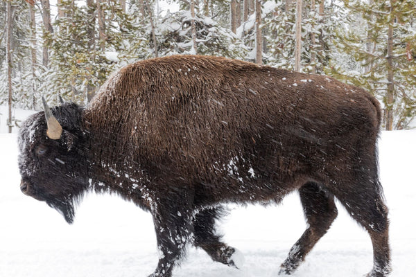 Buffalo at Yellowstone National Park in the wintertime