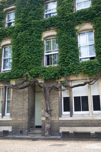 An Interesting Shrub or Tree in Oxford England