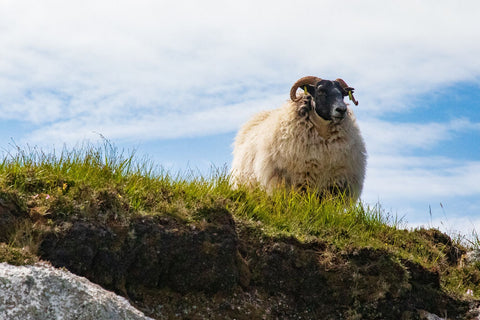 Sheep - A Scot's Staple