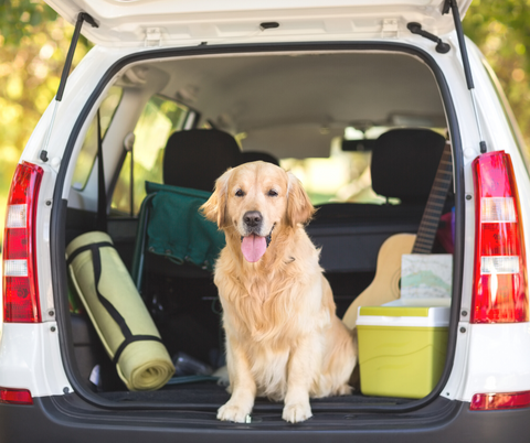 Golden retreiver in the back of car with door open there is a yoga mat and cooler in the back of the car