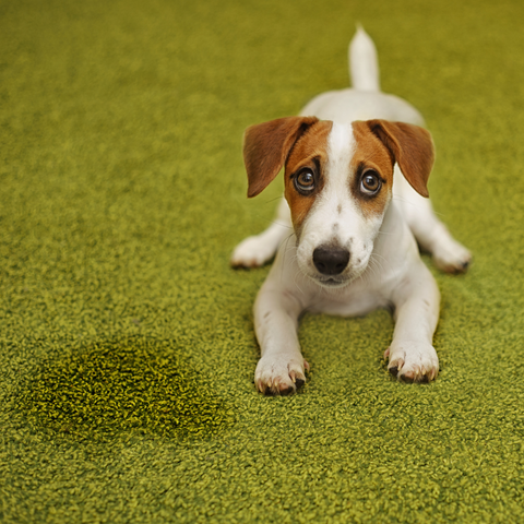 Jack Russell Terrier puppy laying next to a potty accident