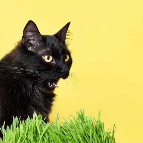 black cat on yellow background with grass on lower right corner