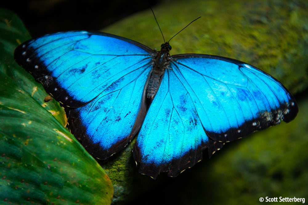 Blue Morpho Butterfly in Costa Rica