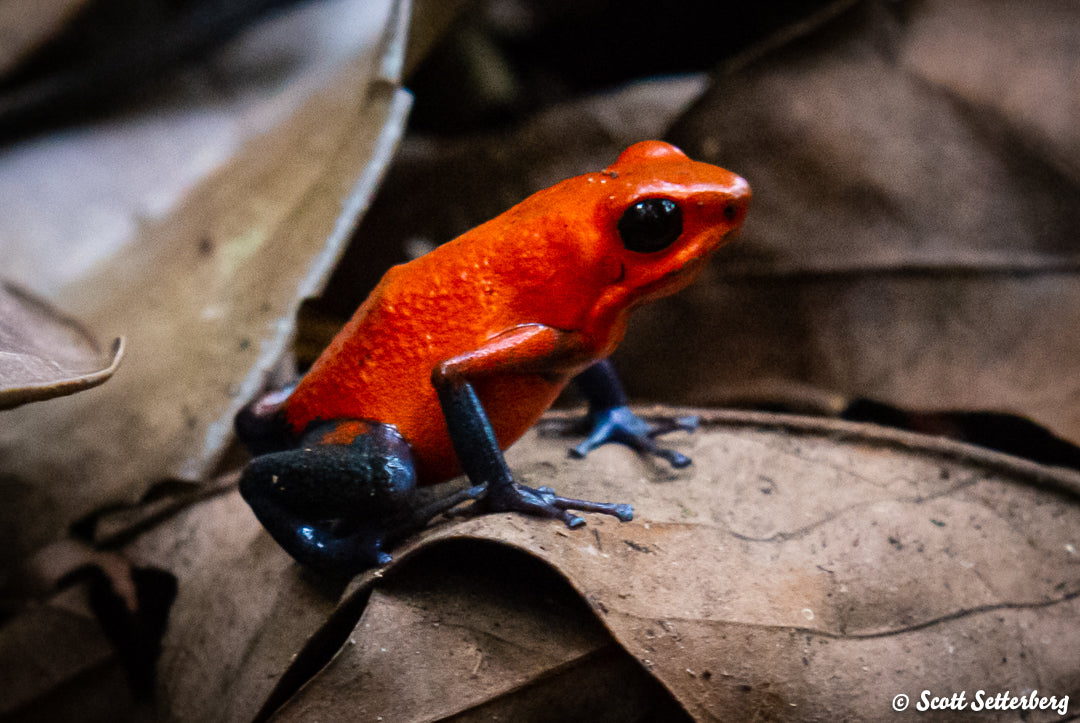 Strawberry Poison Dart Frog in Costa Rica