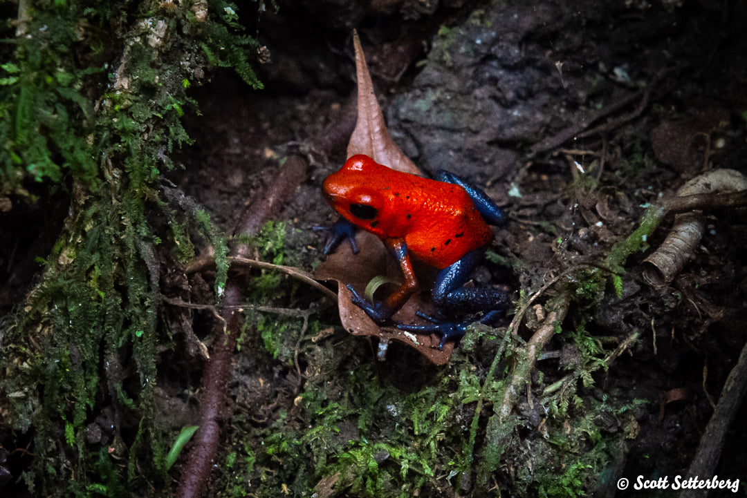 Poison Dart Frog in Costa Rica