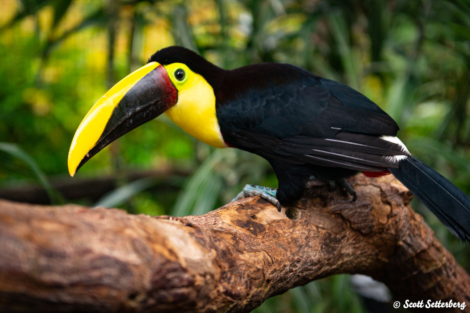 Chestnut-Mandibled Toucan in Costa Rica