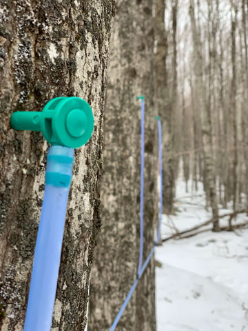 tap maple tree for syrup