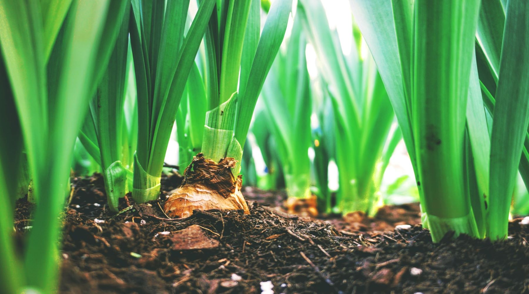 How and When to Plant Spring and Summer Bulbs