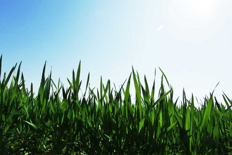 Leave grass taller in summer to survive the heat