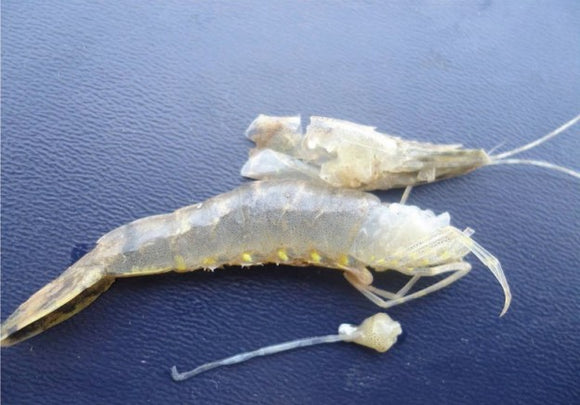 White Fecal Disease in Shrimp Farming Aquaculture