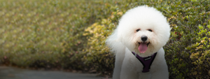 Fluffy small white dog in Purple VOYAGER Step-In Air walking outside on a sunny day