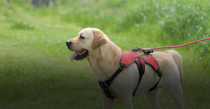 Labrador Retriever in Red VOYAGER Control Harness with leash attachment outside on grassy hill